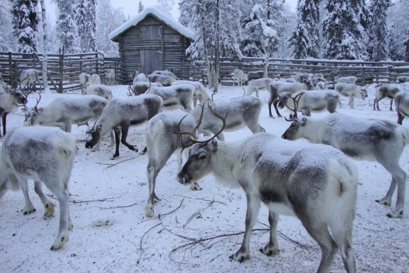 Visit a traditional reindeer farm