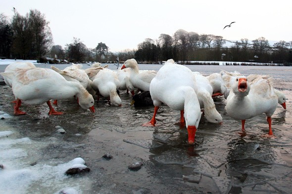 11 geese a-freezing, Johnstonebridge, Scotland