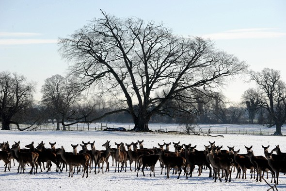Mob of deer, Wensleydale