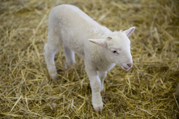 Spring lambs