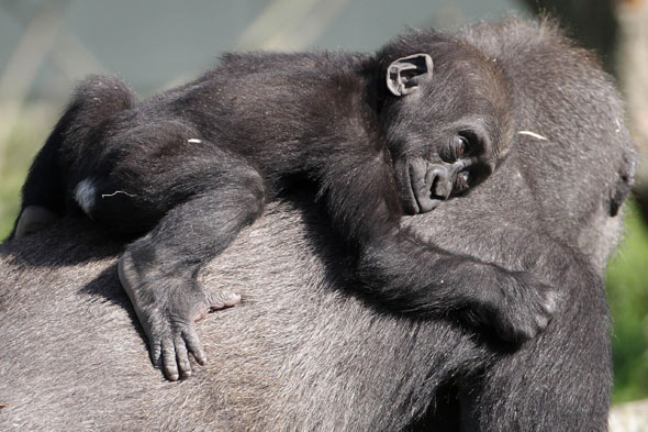 Baby gorilla, Dublin Zoo