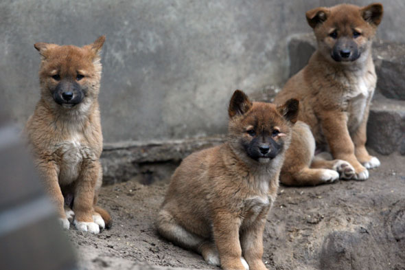 Dingo puppies