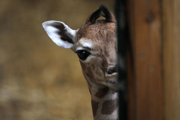 Shy baby giraffe