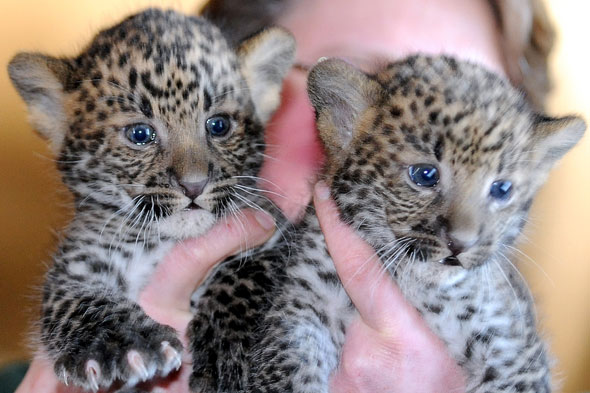 Javan leopard cubs