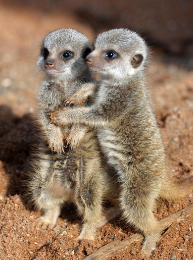 Cuddling meerkats