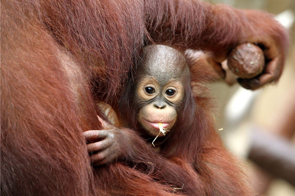 Asian Orang utan