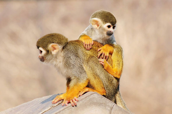 Squirrel monkey and mum