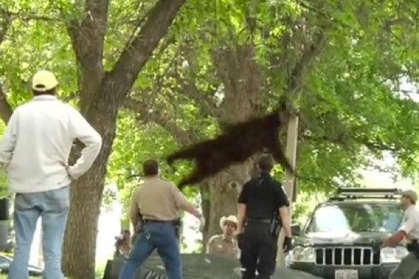Colorado faling bear from tree killed in car accident