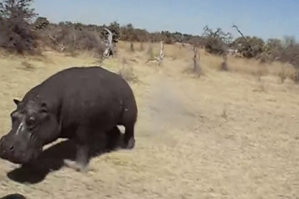Video: Tourists get a huge fright as angry hippo charges open-top truck