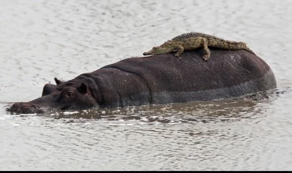 Hip-po place to hang out: Croc mistakes animal for rock