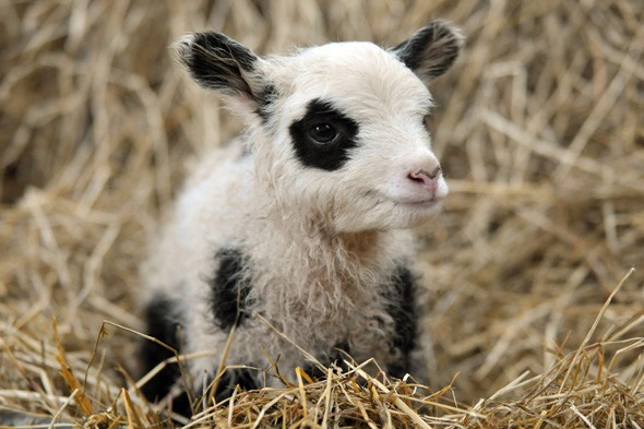 Move over Tian Tian and Yang Guang! Farmer breeds lambs that look like pandas