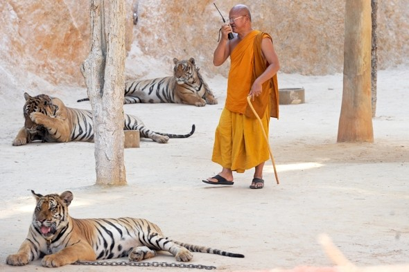 The Tiger Temple where tourists can 'pat cats' - but why are they so docile?