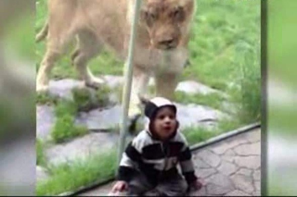 Lion tries to eat baby dressed as zebra at Oregon Zoo