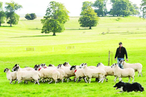 Learn how to handle a sheep dog in Cumbria