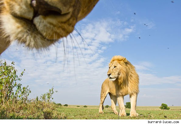 Curious lion