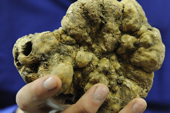 White truffle - up to &amp;#163;1,900 per pound