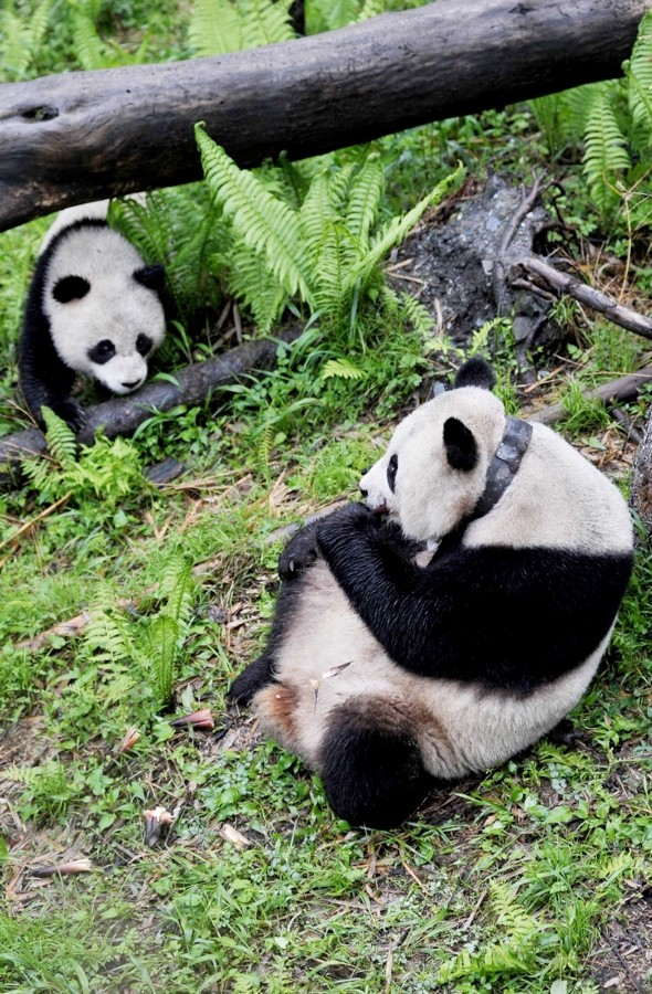 Chinese researchers dress up as pandas to move mother and son