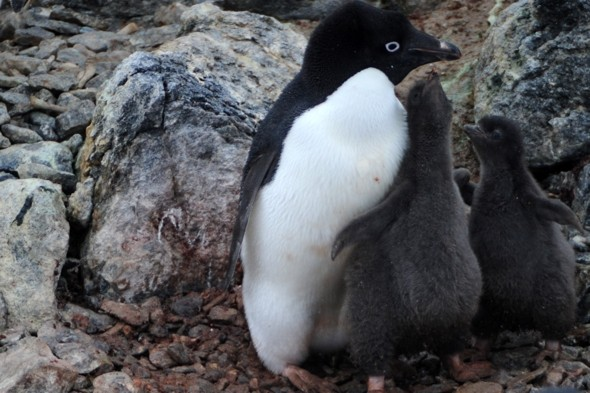 'Gay' penguins get their own egg