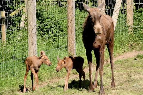 Cute alert! Twin baby moose born at Whipsnade Zoo