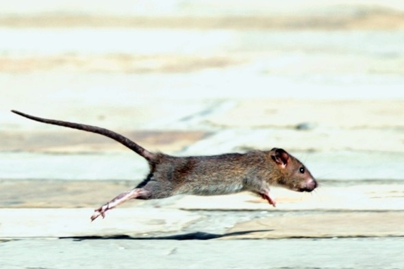 Woman drops trousers on Subway after giant rat runs up leg