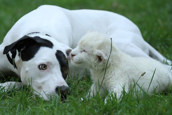 White lion cub and dog become best friends