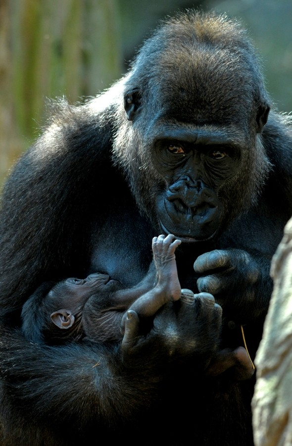 Cutest picture ever? Gorilla 'tickles' newborn baby's feet at Chessington