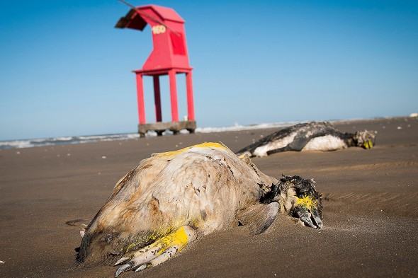Hundreds of penguins wash up dead on beaches in Brazil