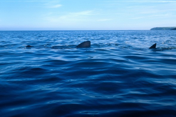 Shark spotted off Devon coast, basking shark, britain, uk shark sightings