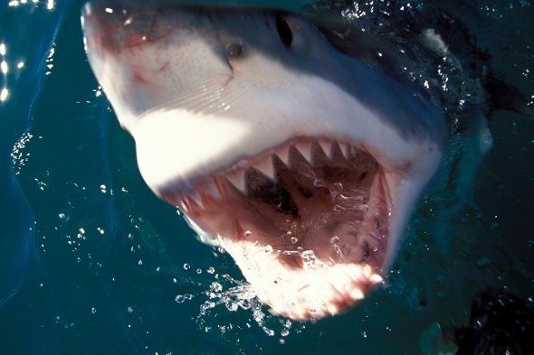 Australian fishermen fight off great white shark