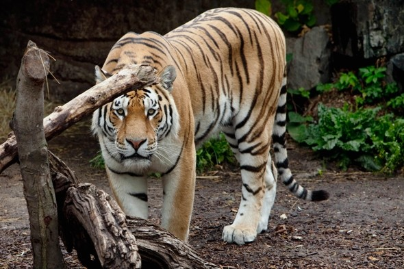 Man eaten alive by tigers in zoo enclosure