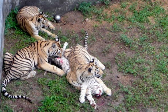 Horror As Tourists Find Three Tigers Eating A Fourth At