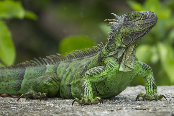 Tourist stopped at airport for returning from holiday with iguana bag, cardiff airport, illegal, morocco, endangered animal skins
