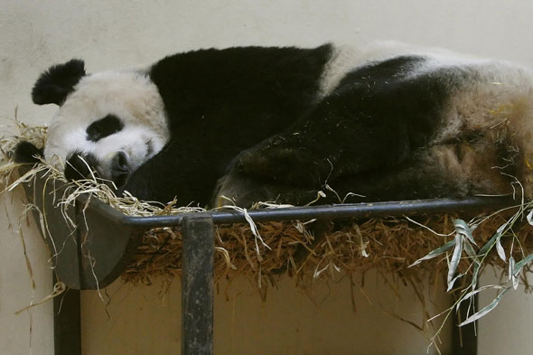 Edinburgh Zoo has launched a new experience to meet a panda close-up