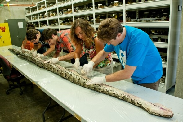 Record-breaking 17ft python carrying 87 eggs found in Florida