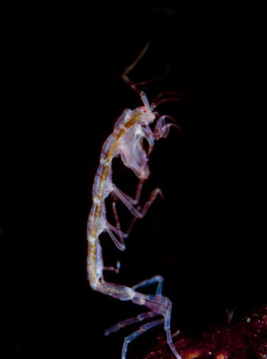 A skeleton or ghost shrimp in St Kilda