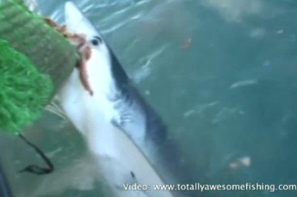 Video: 'Starving' sharks attack boat in Cornwall