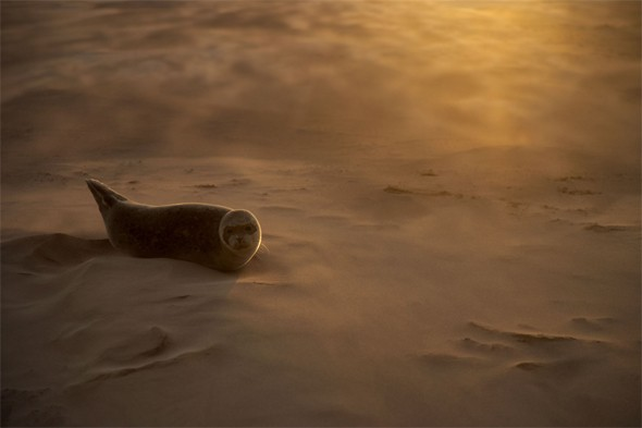 A common seal (Phoca vitulina) pup resting on a sandbank during a sandstorm in Donna Nook, Lincolnshire