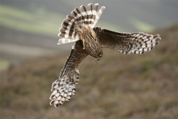 A hen harrier (Circus cyaneus) adult female diving to its nest site at Glen Tanar Estate in Grampian, Scotland