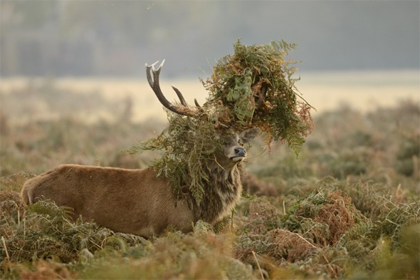 A red deer (Cervus elaphus) stag thrashing bracken during rutting season in Bushy Park, London