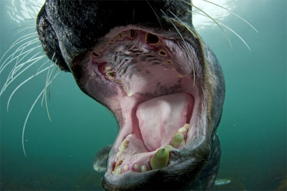 An old male grey seal (Halichoerus grypus) with its mouth wide open showing worn teeth in Lundy Island, Bristol Channel