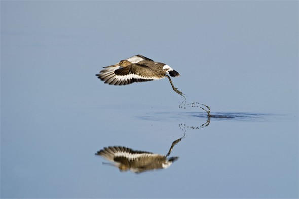 A black-tailed godwit (Limosa limosa) taking of from a tidal pool in Snettisham RSPB reserve, Norfolk
