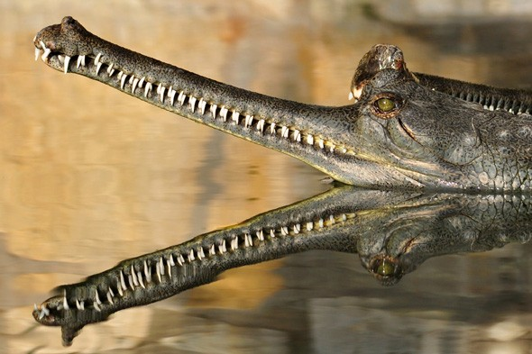 Reflective Gharial by Robert Heischman