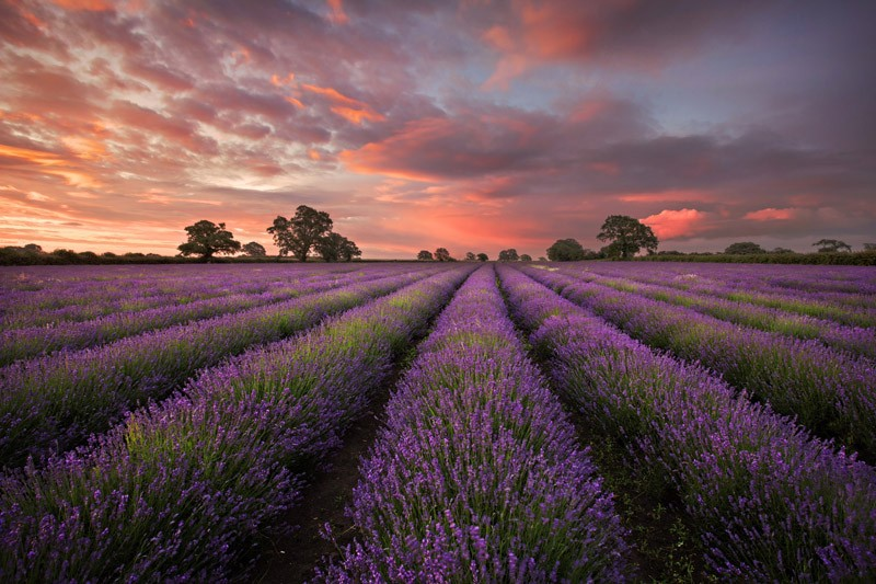 Lavender at Faulkland, Somerset (Commended)
