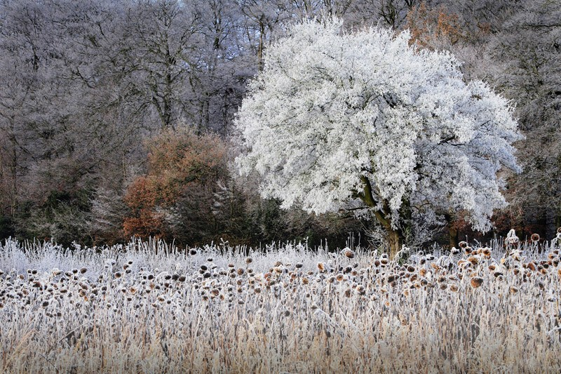 Frosty Sunflowers, The Chilterns, Buckinghamshire (Highly commended)