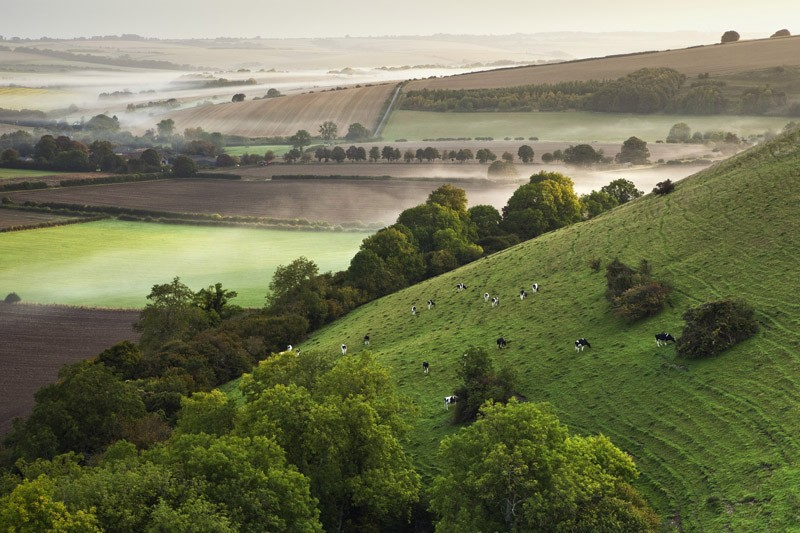 Grazing Cattle, Marleycombe Hill, Wiltshire (Highly commended)