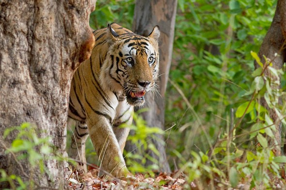 See tigers in the wild on an Indian safari