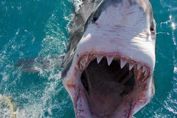 Great white shark jumps out of water and frightens photographer, great whites, south africa, shark diving