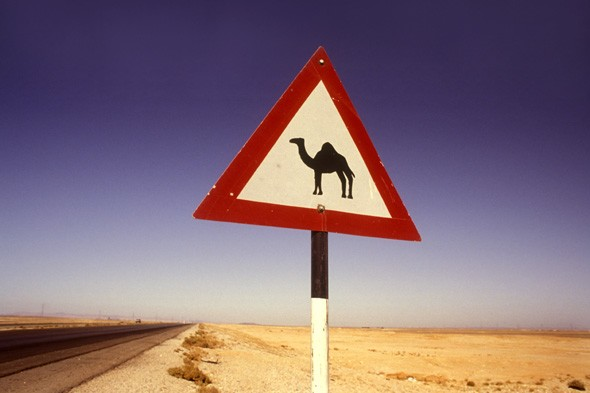 Watch the camels!
