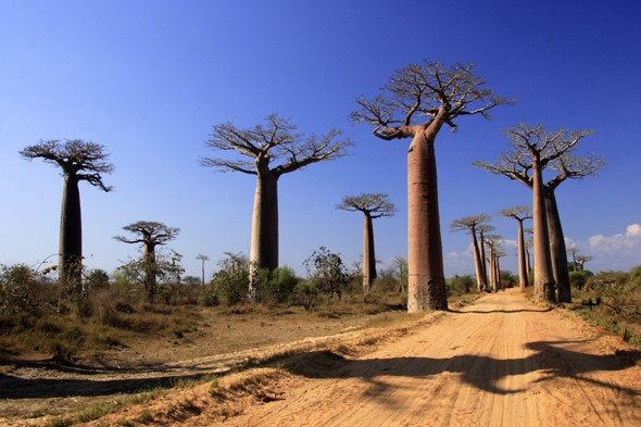 Walk under Madagascar's ancient baobab trees