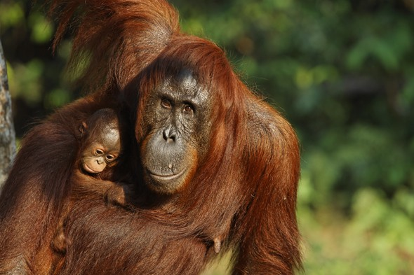 Watch wild orangutans in Borneo